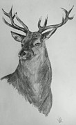 A Stag Drawing  Print by Vicky  Hutton