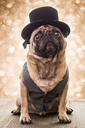 Pug Photos - A Star Is Born - Dog Groom by Edward Fielding