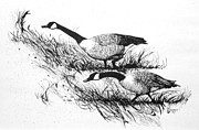 Geese Drawings Prints - A Stroll Print by Robert Sankner
