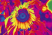 Engaged Prints - A sunflower in a lovely color. Print by Tommy Hammarsten