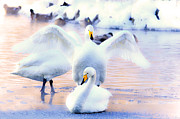 White River Scene Photo Originals - A swan  waving by Tommy Hammarsten
