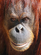 Sumatran Orang-utans Prints - A Thoughtful Orangutan Print by Margaret Saheed