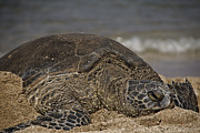 Green Sea Turtle Photos - A Time to Rest V2 by Douglas Barnard