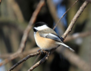 Cathy Beharriell Metal Prints - A Tiny Chickadee Puffball Metal Print by Cathy  Beharriell