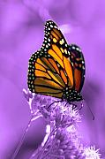 Monarch Metal Prints - A Touch of Summer  Metal Print by Cathy  Beharriell