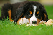 Berner Photos - A trustful friend by Michal Bednarek