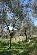 (olea Europaea) Photos - A Turkish Olive Grove by Tracey Harrington-Simpson