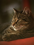 Photo Of Cat Framed Prints - A Very Relaxed Cat Called Mosey Framed Print by Anne Macdonald