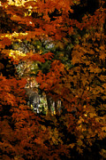 Red Leaves Photos - A View Through The Autumn Trees by Diane Schuster