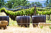 Wine Vineyard Prints - A vineyard with oak barrels Print by Susan  Schmitz