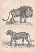 Pack Animal Drawings Posters - A Vintage Print of a Lion and a Tiger Carnivora Poster by Anon