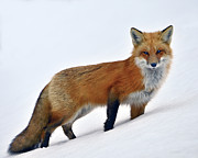 Vulpes Vulpes Prints - A Walk In The Snow Print by Tony Beck