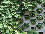 Sandra LaFaut - A Wall of Hostas