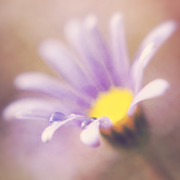 HJBH Photography - A waterdrop on the petal of a daisy