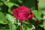 Rose Water Art - A Watered Rose  by Jeff  Swan
