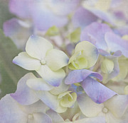 Purple Hydrangea Photos - A Whisper by Kim Hojnacki
