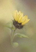 A Whisper Of A Sunflower Print by Angie Vogel