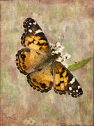 Painted Lady Posters - A Whisper of Wings Poster by Betty LaRue