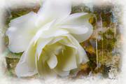 Barry Jones - A White Rose