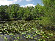 Nature Center Pond Prints - A Whole Lotta Lilies Print by Marsha Fagerstrom