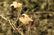 Natural Ocean Life Originals - A withered leaf  by Tommy Hammarsten
