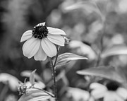 Black Eyed Susan Print Prints - A Yellow World 2 monochrome Print by Steve Harrington