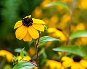 Black Eyed Susan Print Prints - A Yellow World 2 Print by Steve Harrington