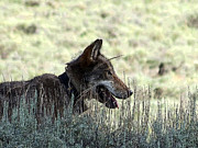 Conservation Art Poster Posters - A Yellowstone Wolf. Modified Photo Poster by Ausra Paulauskaite