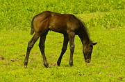 Foals Framed Prints - A Young Colt Grazing Framed Print by Jeff  Swan