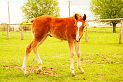 Domesticated Animals Prints - A Young Foal Print by Jeff  Swan