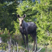 Moose Photos - A Young Moose  by Jeff  Swan