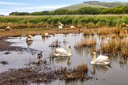 Swans... Photo Metal Prints - Abbotsbury Swannery Metal Print by Joana Kruse