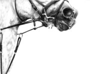 Horse Drawings Metal Prints - Above the Bit Metal Print by Sheona Hamilton-Grant