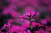 Phlox Prints - Above the Crowd Print by Lois Bryan