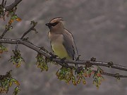 Ramona Edwards - Abstract Cedar Waxwing