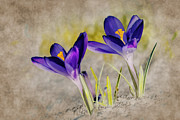 Purple Flowers Digital Art - Abstract crocus background by Jaroslaw Grudzinski