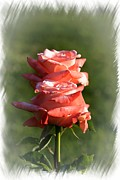Abstract Roses Print by Stefano Senise