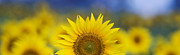 Sun Flowers Framed Prints - Abstract Sunflower Panoramic  Framed Print by Tim Gainey