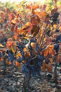 Grape Leaves Photos - Abundant Harvest by Carol Groenen