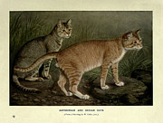 Pussy Framed Prints - Abyssinian and Indian Cats Framed Print by W Luker