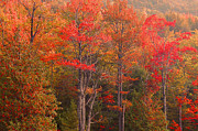 Hardwood Trees Posters - Acadia Fall Colors Poster by Stephen  Vecchiotti