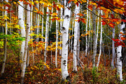 Dick Wood - Acadia white birch trees