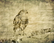 Bound Mixed Media Framed Prints - Accipiter badius - Shikra Framed Print by Saurabh and Geetanjali Nande
