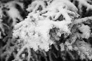 acculumated snow and hoar frost on fir tree branches during winter Forget Saskatchewan Canada Print by Joe Fox
