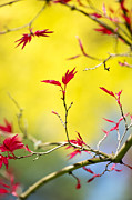 Maple Leaf Prints - Acer colour Print by Tim Gainey