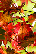 Backlit Photo Prints - Acer japonicum O isami Print by Anne Gilbert