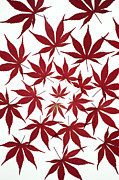 Japanese Maple Posters - Acer Leaf Pattern Poster by Tim Gainey