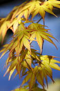 Maple Tree Framed Prints - Acer Palmatum Katsura Leaves Framed Print by Tim Gainey
