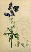 Medical Drawings - Aconitum Napellus by Sowerby by H Sowerby