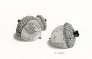 Autumn Prints Drawings Prints - Acorns- Black And White Print by Sarah Batalka
